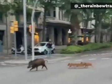 Una familia de jabalíes se pasea por la avenida Diagonal de Barcelona
