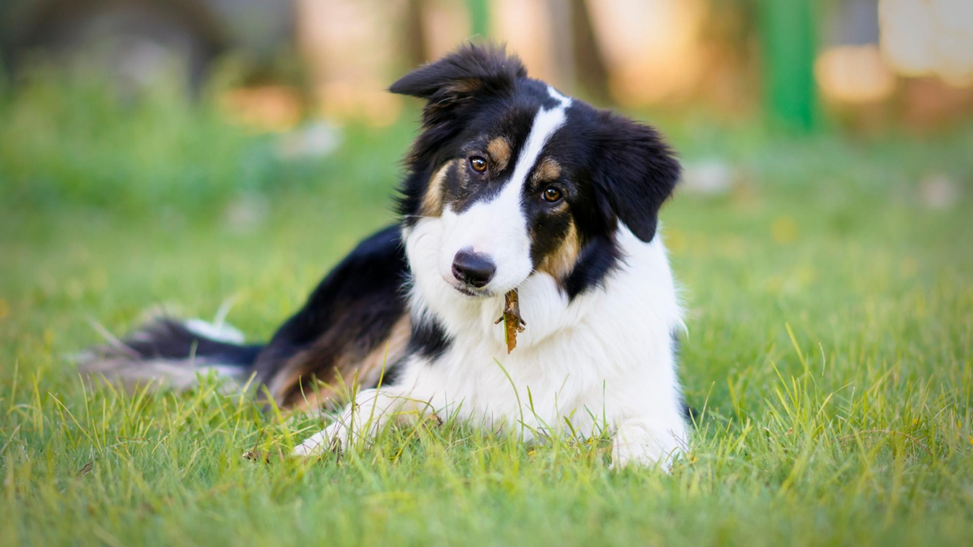 Las espigas: un verdadero peligro para los perros