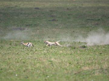 Un guepardo cazando a una gacela