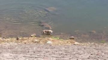 Cocodrilo atacando a un perro