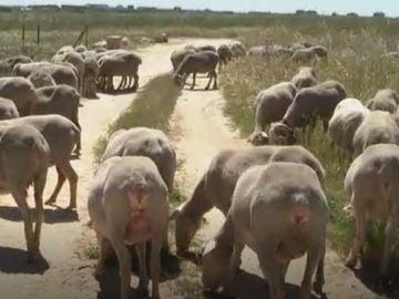 El importante papel de las ovejas para recuperar las vías pecuarias y hábitats de gran valor ecológico