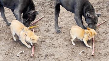 Chihuahua peleando con un perro más grande