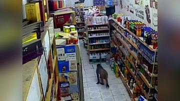 Un mono se cuela en una tienda, roba una bebida y huye corriendo