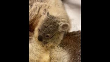 Un koala ciego y su adorable bebé rescatados de la muerte al encontrarlos perdidos en una carretera de Australia