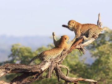 Graban a un par de leopardos en una dramática pelea