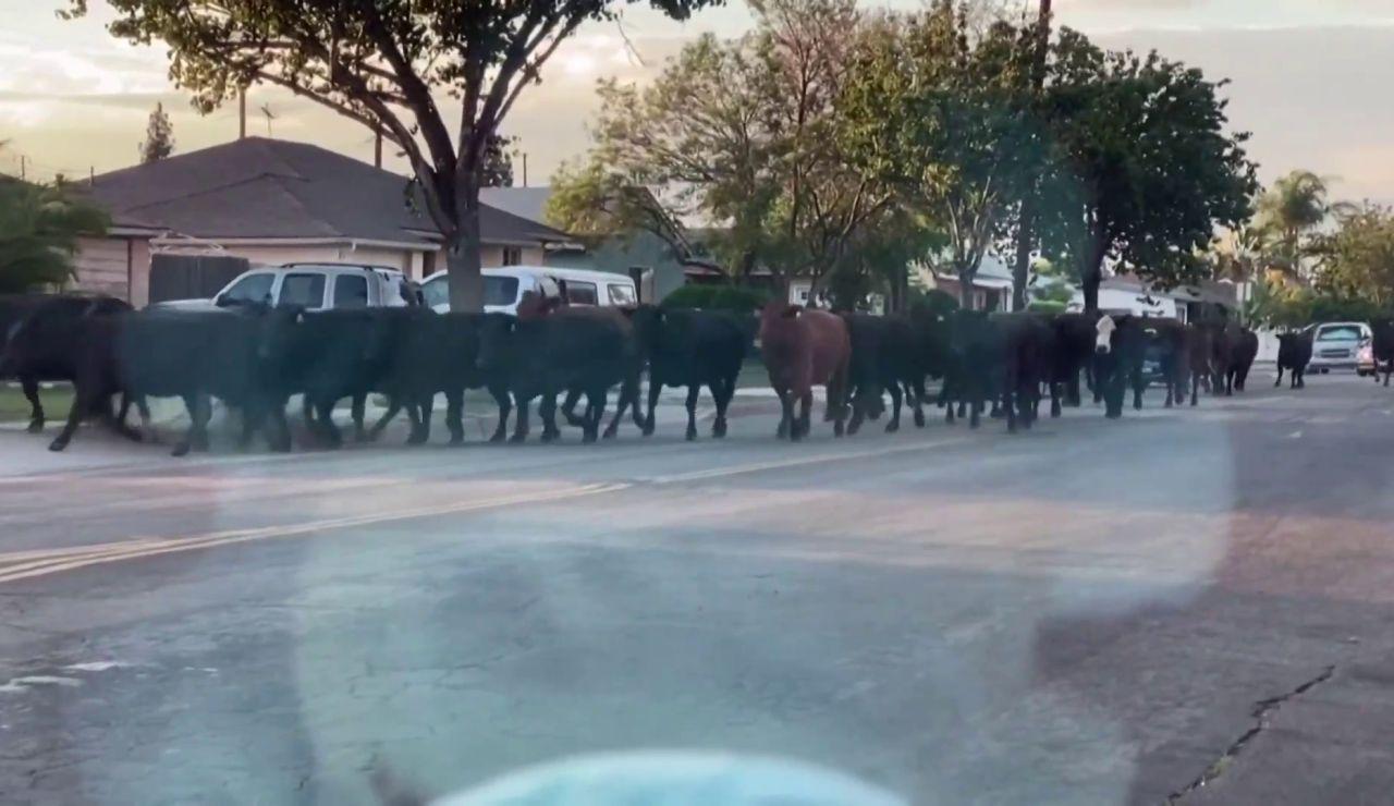 40 vacas corren sueltas por las calles de Los Ángeles