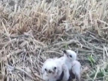 2 crías de aguilucho Cenizo rescatadas en Navarra