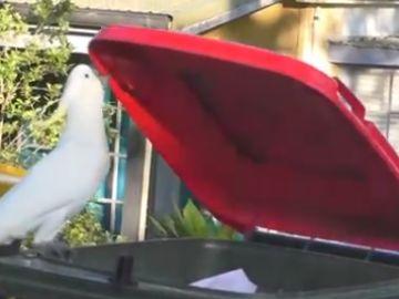 Científicos estudian cómo cacatúas de Australia aprenden unas de otras a abrir contenedores