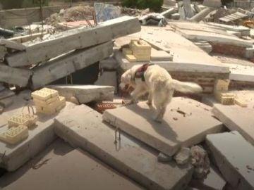 Así entrena la unidad canina de rescate para encontrar supervivientes en una situación de emergencia