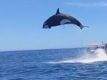 Los ataques de orcas en aguas de Barbate prohíben durante un tiempo la navegación a las embarcaciones de vela de menos de 15 metros de eslora