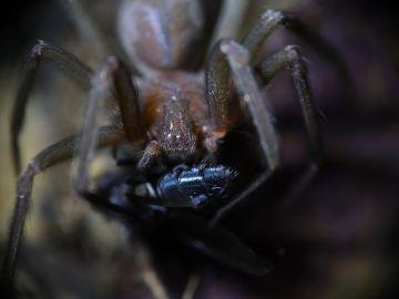 Loxosceles rufescens, también conocida como la araña violinista o araña reclusa