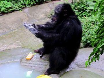 Un chimpancé imita a su cuidador lavándose las manos y poniéndose mascarilla
