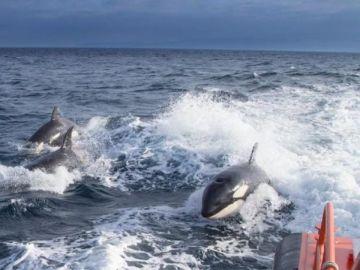 Orcas en la zona marítima del Estrecho