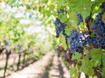 La primera ola de calor del verano afecta a nuestros viñedos