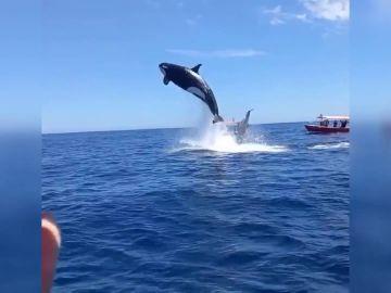 orcas barcos