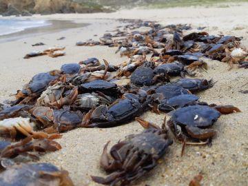 Cangrejos muertos cubren una playa de Valdoviño, A Coruña