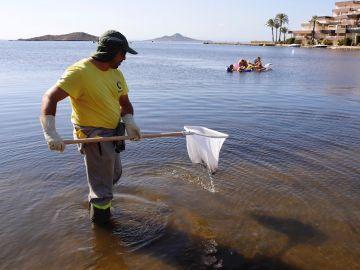 Un operario retira pescados muertos del Mar Menor