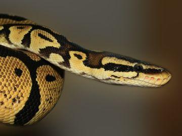 La loca persecución de una serpiente a una rata en una tienda