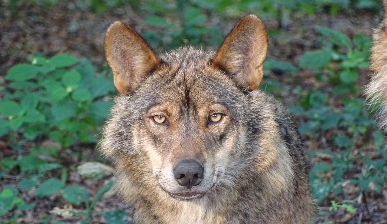 Cazar lobos ibéricos penado con multas de hasta 2 millones de euros