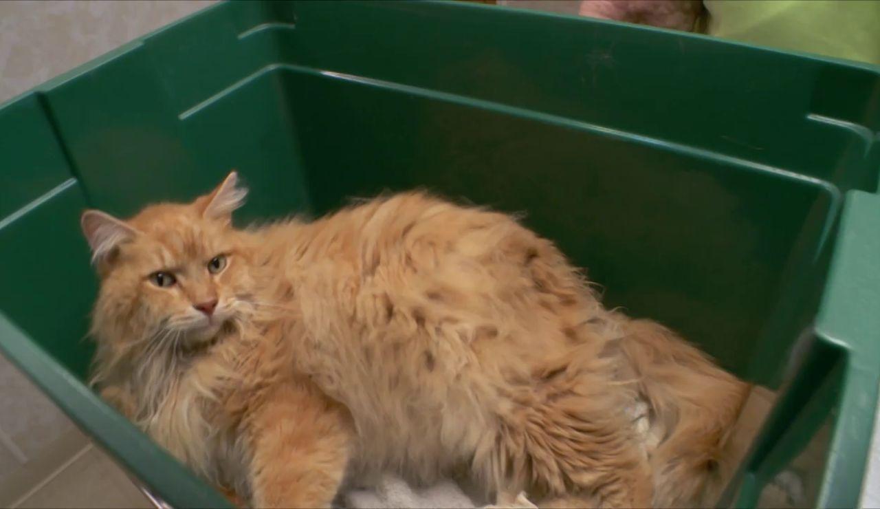 Esto es lo que le puede pasar a tu gato si no lo cepillas con frecuencia