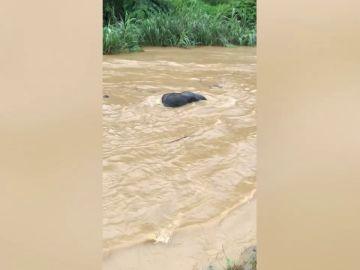 Elefante salvaje se salva de ahogarse después de ser arrastrado por un río crecido