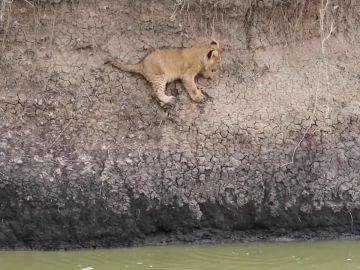 VÍDEO: Un bebé león es salvado por su madre de caerse al agua
