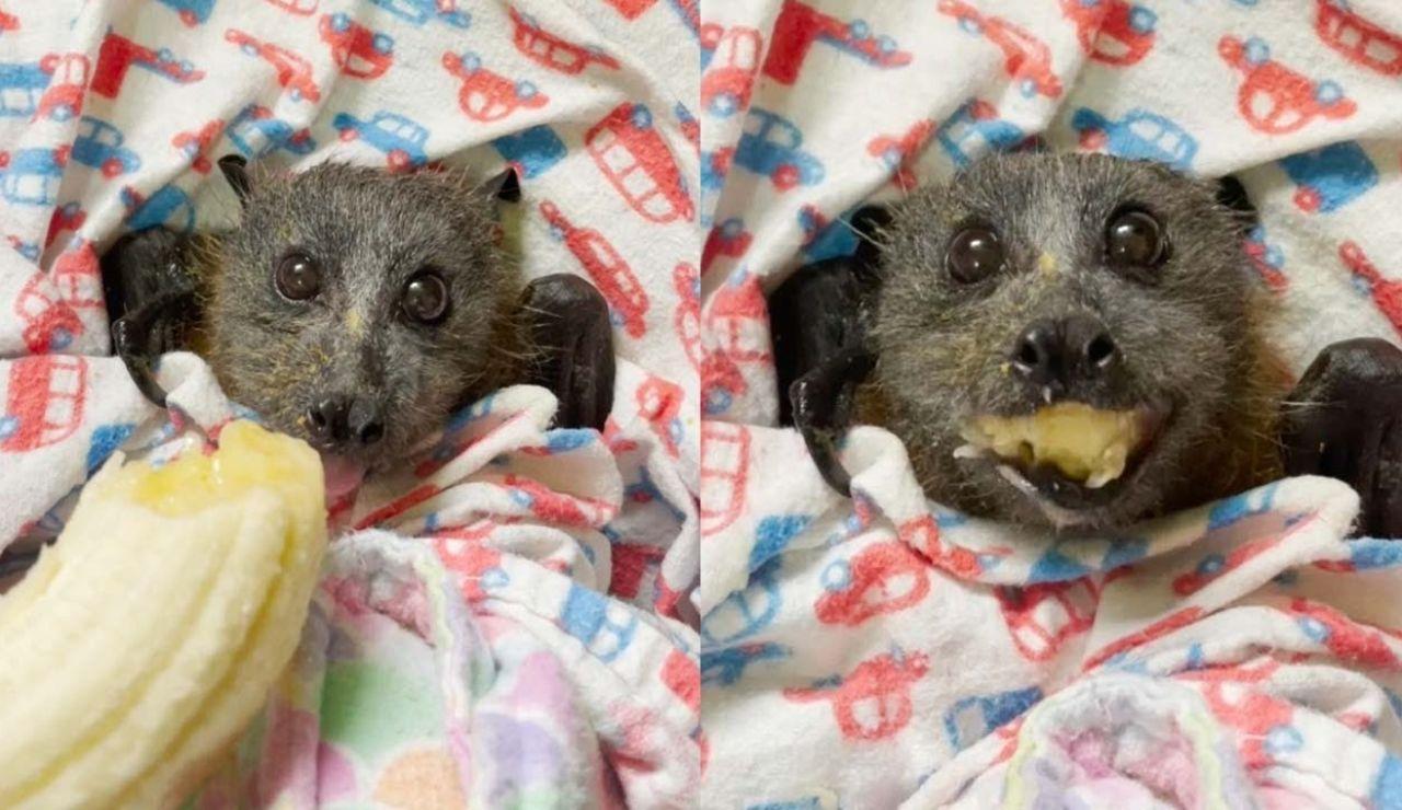 Murciélago devorando un plátano