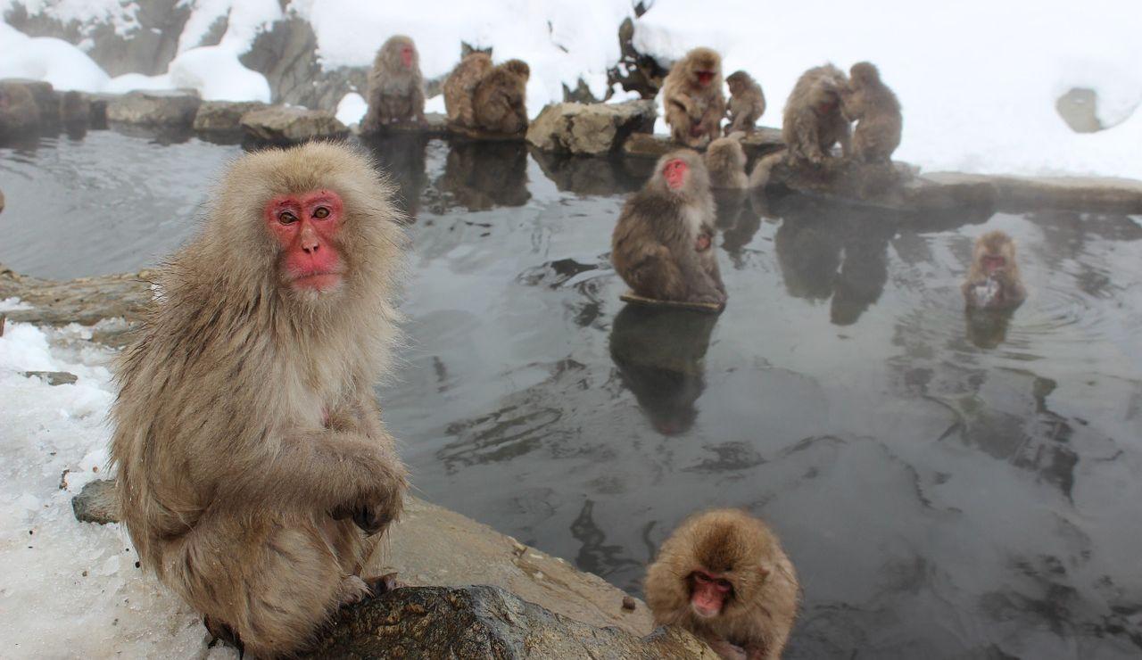 Monos de nieve (archivo)