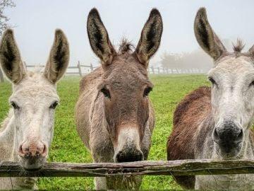 Dimite el director general de Medio Natural valenciano tras morir 10 burros en un plan antiincendios